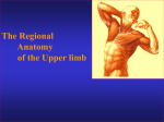 The Regional Anatomy of the Upper limb