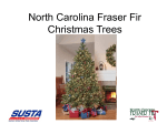 North Carolina Frazier Fir Christmas Trees