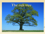 the oak – the tree of Poland