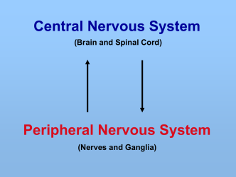 6. Peripheral Nervous System
