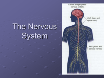 The Nervous System - My Science Party