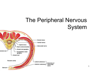 Lecture 14 - Peripheral Nervous System