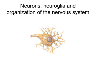 Neurons, neuroglia and organization of the nervous system