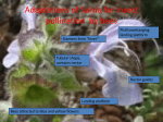 Adaptations of Salvia for insect pollination by bees