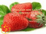 (6137026)Tanaman Mini Garden Strawberry Original