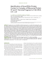 Identification of novel RNA-protein contact in complex of ribosomal protein S7 and 3'-terminal fragment of 16S rRNA in E