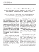 Identification in human osteoarthritic chondrocytes of proteins binding to the novel regulatory site AGRE in the human matrix metalloprotease 13 proximal promoter.