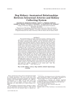 Dog kidneyAnatomical relationships between intrarenal arteries and kidney collecting system.