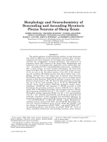 Morphology and Neurochemistry of Descending and Ascending Myenteric Plexus Neurons of Sheep Ileum.