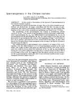 Spermatogenesis in the Chinese hamster.