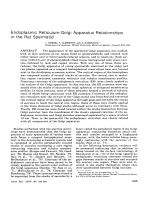 Endoplasmic reticulum-Golgi apparatus relationships in the rat spermatid.