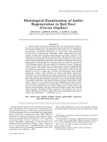 Histological examination of antler regeneration in red deer (Cervus elaphus).
