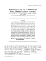 Morphology of the Eye of the Southern Right Whales (Eubalaena australis).